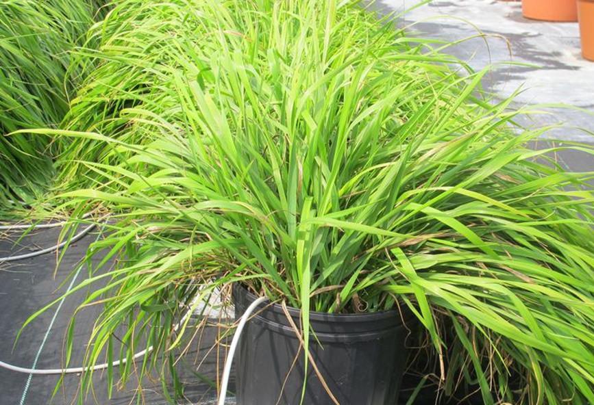 Αυτό το φυτό μπορεί και διώχνει τα κουνούπια και οι επιστήμονες ...