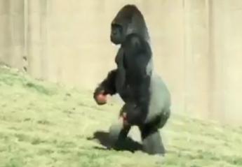 Αυτός ο γορίλας που περπατάει σαν άνθρωπος έγινε viral [βίντεο] - Κεντρική Εικόνα