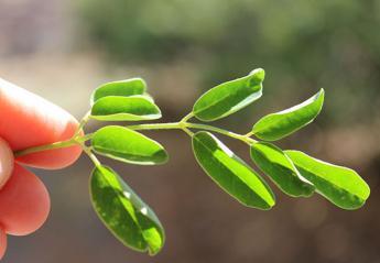 Τι είναι το μορίνγκα και γιατί θεωρείται το superfood της χρονιάς; - Κεντρική Εικόνα
