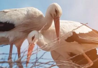 H αγάπη αυτών των πελαργών έχει συγκινήσει τους πάντες [βίντεο] - Κεντρική Εικόνα